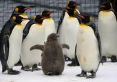 ARMAS VIDEO! Täna on ülemaailmne pingviinipäev