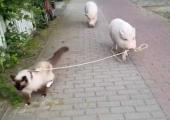 VAHVA VIDEO! Vaata, kuidas põrsas kassi jalutab