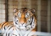 Loomaaed peab tiigripäeva