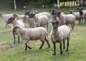 Leht: riik väldib Sutteri Ökoküla 200 kadunud lamba juhtumi uurimist