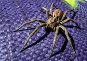 """Indias avastatud ämblik sai nime """"Harry Potteri"""" järgi"""