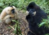 """Hiinast avastati uus inimahviliik - """"Star Warsi gibbon"""""""