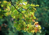 Nõmme saja tamme puistusse istutatakse 99. puu