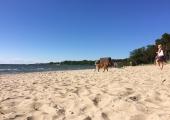 Pirita elanik: armastatud rannast on saanud koerte jalutusväljak