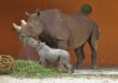Homme tähistatakse loomaaias rahvusvahelist ninasarvikupäeva