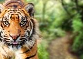 Heategevuskampaania aitab luua tiigritele Tiigrioru