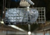 Tuhanded inimesed nõuavad karusloomafarmide keelustamise eelnõu arutelu riigikogus