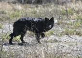 Hulkuvate koerte püüdmine korraldati Narvas kahtlastel asjaoludel