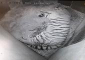 Tallinna loomaaed rõõmustab amuuri tiiger Pootsmani järglaste sünni üle