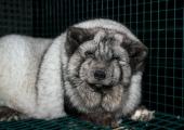 FOTOD: Soomes paljastati taaskord salajased materjalid karusloomafarmidest