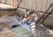 Uus kodu võib panna tiigri rõõmust puristama