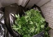 Politsei konfiskeeris kanepikasvatuses 62 taime ja 650 istikut