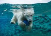 Tallinna loomaia asukas jääkaru Nora sai Viini loomaaias poja