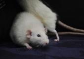 Rott pani Eesti proovile