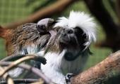 Ahvipäev rikastab loomaaia primaatide toimetusi erinevate kingitustega