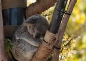 Tallinlased aitavad põlengus kannatanud Austraalia loomadel ellu jääda
