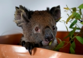 Veel viimaseid päevi saab teha annetusi Austraalia loomade toetuseks