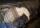 Loomakaitsjad kutsuvad loobuma hanemaksapasteedi ostmisest