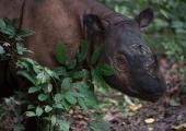 Toeta loomaaia piletiostuga manulit ja sumatra ninasarvikut