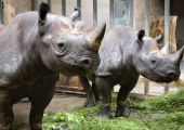 Tallinna loomaaia tubli ninasarvikuemme Kibibi sai kümneaastaseks