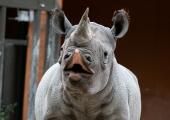 FOTOD! Tallinna loomaaia tubli ninasarvikuemme Kibibi sai kümneaastaseks