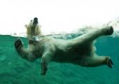 Loomaaed teeb ettevalmistusi jääkaru Aroni transpordiks Prantsusmaa loomaaeda