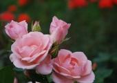 Botaanikaaed kutsub traditsioonilistele Roosipäevadele