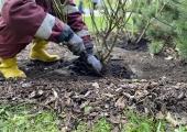 Lasnamäe Linnaosa Valitsuse maja ümber asuvad roosipeenraid väetatakse uue põlvkonna kompostiga
