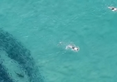 VIDEO! Inimesed ujusid Austraalias kogemata koos haidega