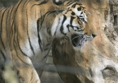 VIDEO! Tallinna Loomaaeda kerkib haruldane Tiigriorg