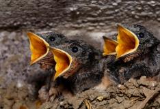 Loomakaitsjad: pesitsemise ajal ei tohi linnupesi puutuda