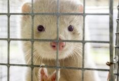 Rahvusvaheline petitsioon kutsub Eestit keelustama karusloomafarme