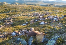 Norras tappis välk sadu põhjapõtru