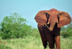 RAPORT: Aafrikas langes viimasel aastakümnel salaküttide ohvriks 111 000 elevanti