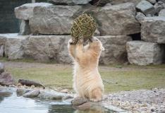 Loomaaed kutsub jääkarupäevale