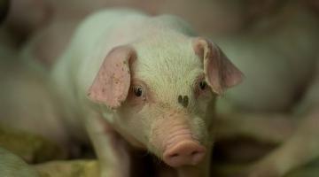 Eesti küsib EL-lt seakasvatussektorile erakorralist abi