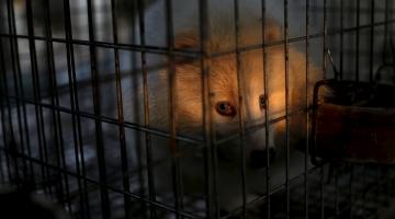 Loomade eestkostjad: karusloomafarmide aeg Eestis on lõppemas