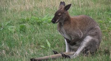 Aita päästa koaalade ja kängurude elu!