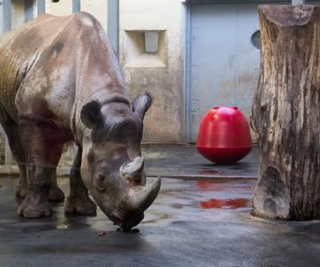 Loomaaias tähistatakse rahvusvahelist ninasarvikute päeva