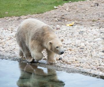 Jääkarupoeg Aronit enam naljalt veest välja ei saa