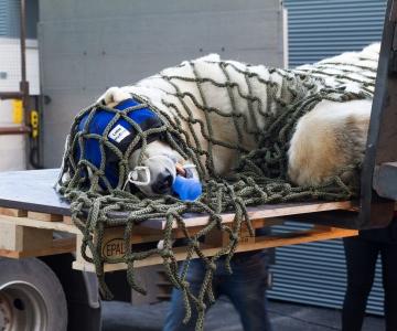 FOTOD! Tallinna Loomaaia jääkaru Nord kolis uude polaariumisse