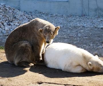 Jääkaru Nord kolis uude polaarmajja oma kaasa kõrvale