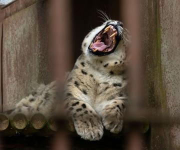 FOTOD JA VIDEO! Loomaaias tähistati lumeleopardipäeva