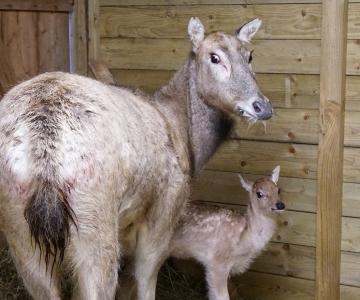 Vahepeal poegimisest keeldunud miilu sai vasikaga maha