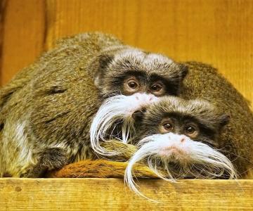 Kuningtamariinid teevad kaisutamises teistele loomadele silmad ette