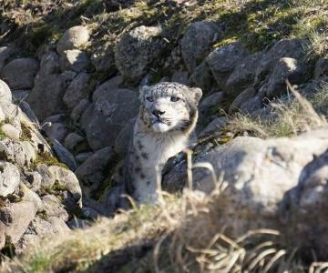 VIDEO: Tallinna Loomaaias saab näha lumeleopard Ottot