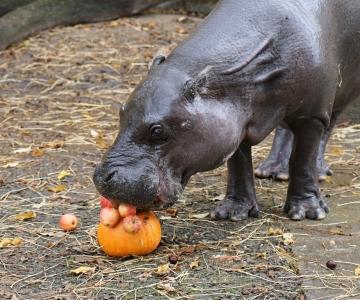 Kuldne sügis peab loomaaias veel vastu ja lõkendav loodus laseb ennast nautida