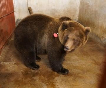 VIDEO JA FOTOD! Tallinna loomaaias ajutiselt kostil olnud isakaru Proša jõudis tagasi kodumaale