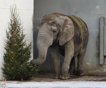 VIDEO! Loomaaias näeb elevantide ja amuuri leopardi toitmist