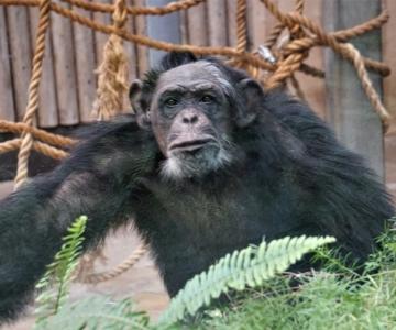 FOTOD! Šimpansid haarasid loomaaias joonistamiseks rasvakriidid